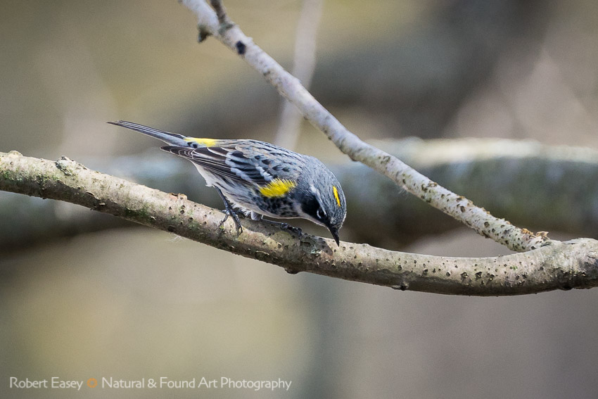 The Yellow-Rumped Warbler